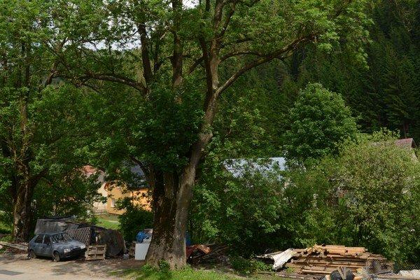 Revúcky jaseň štíhly patrí mierami 35 metrov výšky a 506 centimetrov v obvode k najmohutnejšom a najstarším svojho druhu v Európe.