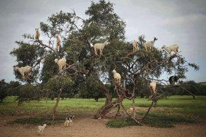 Kozy obžierajúce argánový strom v Maroku.