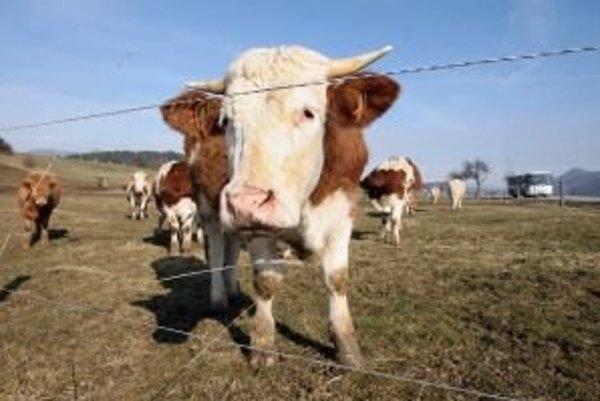 Ak poľnohospodári znížia stavy dobytka, cesta naspäť bude veľmi zložitá. Vychovať jednu dojnicu trvá približne tri roky.