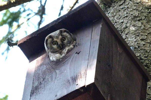 Meria len dvadsať centimetrov. Strážcovia ho objavili v jednej z búdok, ktoré vyvesili, aby pomohli populácii sov.
