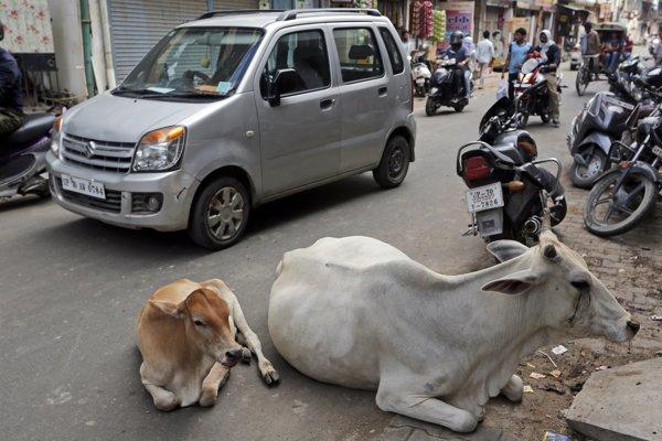 Zatúlané kravy odpočívajú na ceste v Allahabáde v indickom štáte Uttarpradéš.