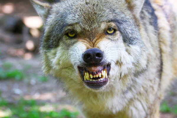 Oproti fotografovi stál odrazu statný, starý vlk. V divočine sa stretol s mnohými šelmami. Na smrť ho však vystrašilo niečo celkom iné.