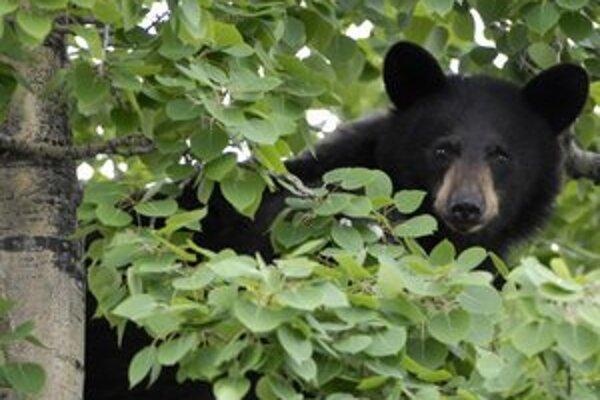 Dôležité je naučiť sa s medveďom žiť, nelákať ho na ľahko dostupnú potravu na poliach či v kontajneroch.