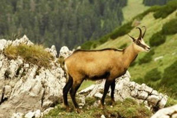 Tento rok narátali v Tatrách viac novonarodených kamzíkov, ako bol celkový počet populácie tesne po vzniku parku.
