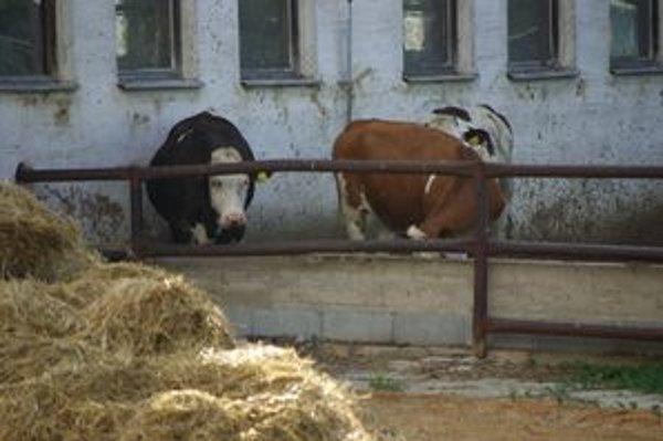 Kravy znepríjemňujú Klobušičanom život.