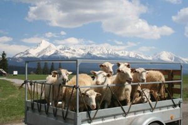 Ovce už nocujú pod holým nebom a každý deň sa pozerajú na Kriváň.