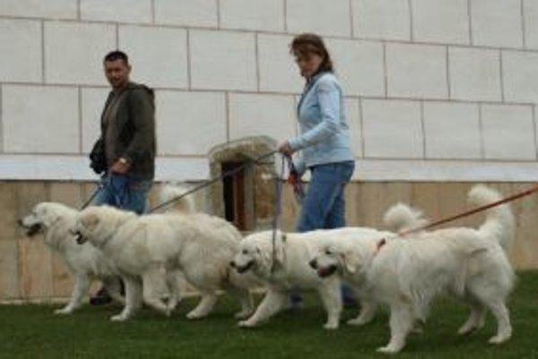 Čuvače, ktoré sa zúčastnili na klubovej výstave, si vychutnávali aj prechádzky po pribylinskom skanzene.