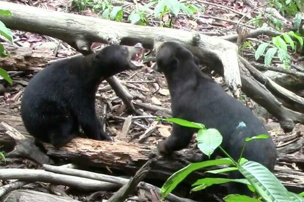 medvede pri hre napodobňujú grimasy.