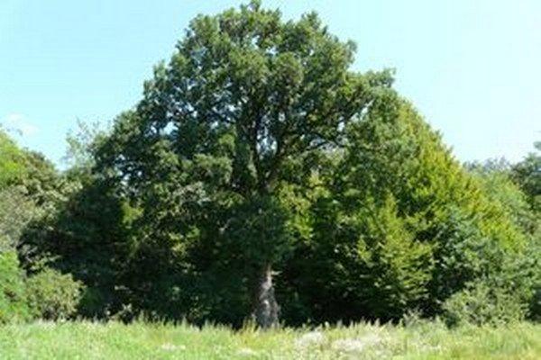 Dub Goliáš má obvod kmeňa vo výške 130 centimetrov nad zemou 460 centimetrov.