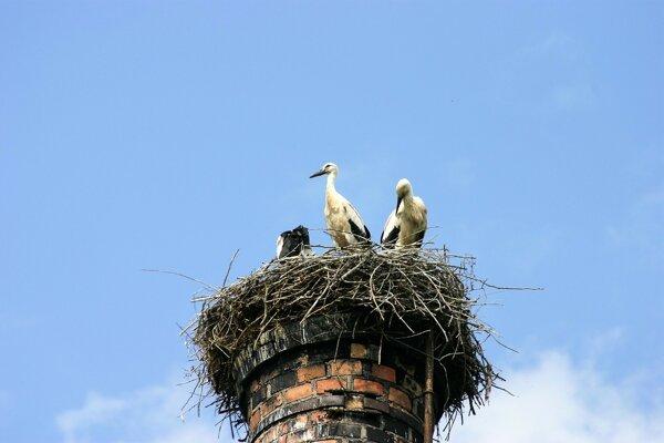 Bociania rodinka na komíne v Diviakoch.