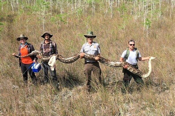 Pytón tigrovitý tmavý bežne dorastá do dĺžky dvoch až troch metrov. Na Floride teraz odchytili päťmetrového jedinca.