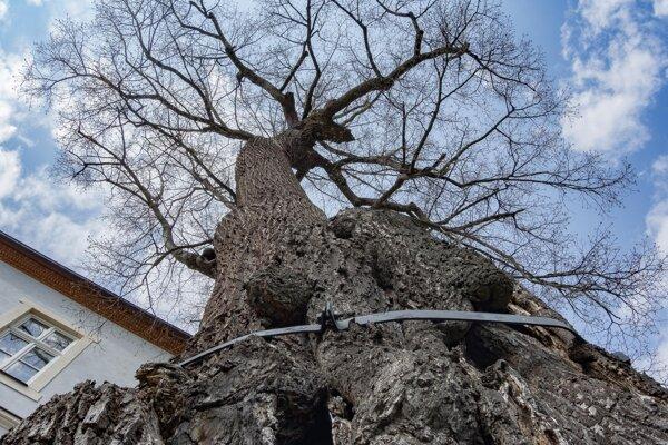 Mohutný a majestátny strom si mnoho pamätá.