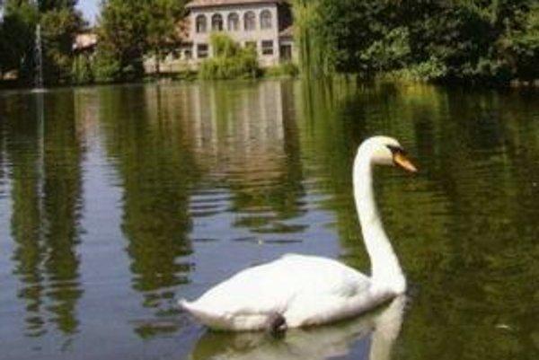 Či a kedy sa ešte labute do lučeneckého parku vrátia, zatiaľ kompetentní nevedia.