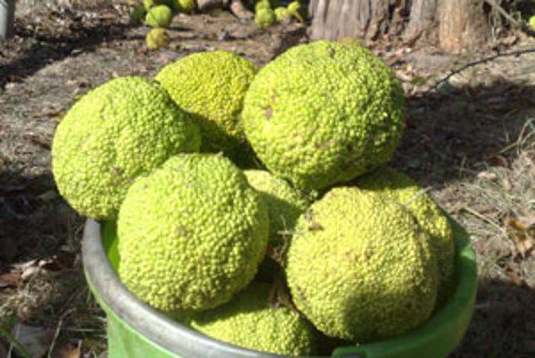 Zaujímavé plody sa na stromoch začínajú vyvíjať koncom jari.