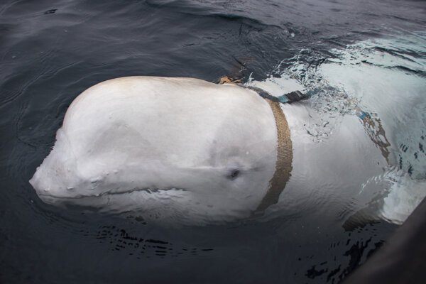 Bieluha s postrojom pláva vedľa rybárskej lode 26. apríla 2019 neďaleko nórskej rybárskej dediny Inga. Námorní experti v Nórsku sa domnievajú, že v nórskych vodách sa objavila veľryba, ktorú zrejme školilo ruské námorníctvo v rámci programu na využívanie vodných cicavcov ako špeciálnej vojenskej sily.