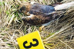 Vlani na jar len v okolí Tvrdošoviec otrávili 24 vzácnych dravcov.