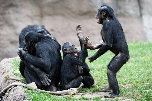 Skupinka šimpanzov bonobo.