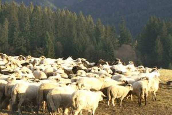 Pre nížinné pastierstvo bolo charakteristické, že stádo sa vracalo každý večer do maštalí budovaných pri trvalom obydlí.