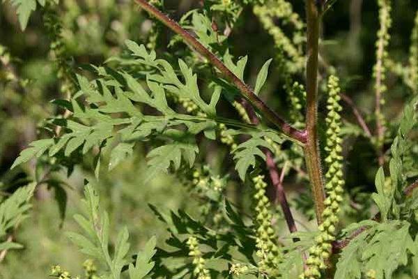 Ambrózia palinolistá (Ambrosia artemisiifolia).