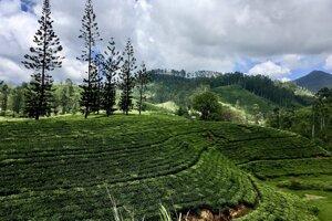 Čajovníkové plantáže v strede Srí Lanky.