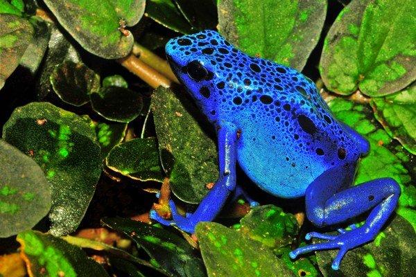 Jedovatá žaba z čelade drevolezovitých.