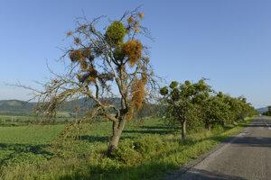 Imelo biele je poloparazitický stromovitý ker, cudzopasiaci  na stromoch.