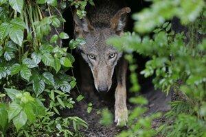 """Vlky dokážu tvárou naznačiť """"psie oči"""", ale ich výraz je menej intenzívny než u psov. Takisto ho používajú menej."""