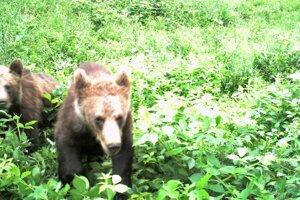 Medvede zachytila aj kamera, ktorú má Žilinčan na svojom pozemku.