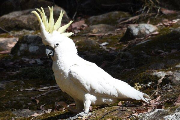 Papagáj druhu kakadu zlatochochlatý.