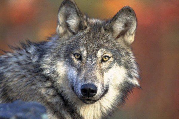 Medzi ohrozené druhy patrí aj americký vlk.