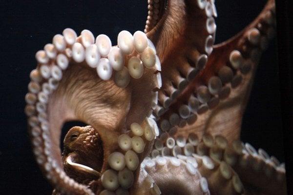 Odhalili tajomstvo chobotníc.