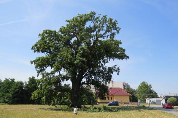Mohutný strom má obvod kmeňa 710 centimetrov.
