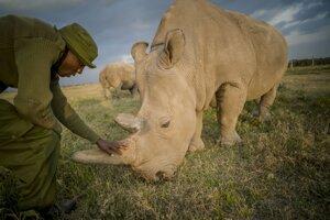 Nosorožec tuponosý severný je kriticky ohrozený.