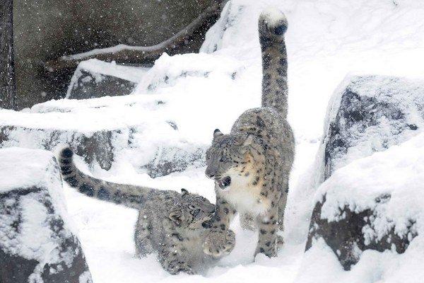 Mláďa snežného leoparda sa hrá s matkou v zoo v americkom Brookfielde. Odfotiť ich v divokej prírode je  mimoriadne  náročné.