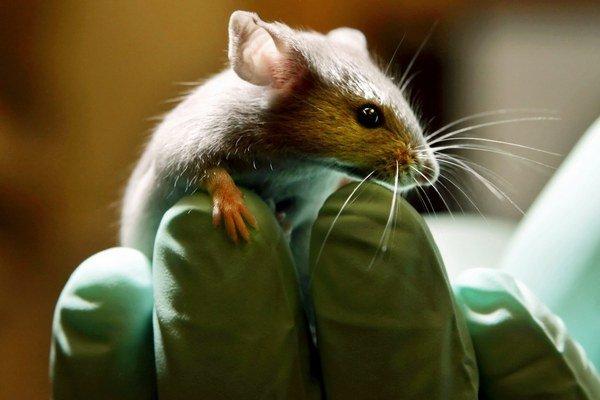 Myšiam pomohli baktérie.