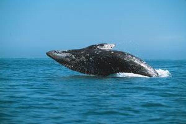 Veľrybovec sivý.