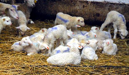 ovce1.jpg