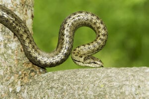 Málo známa užovka hladká, najmenší had na Slovensku.