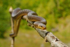 Užovka stromová je náš najväčší had, no na stromy lezie len málokedy.