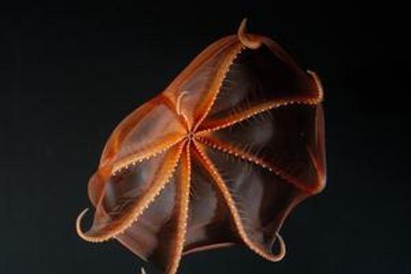 Vampírska chobotnica, ktorá žije v hĺbke stoviek metrov, nový druh chlpatého kraba, subarktické hviezdice aj ryba podobná ľudskej hlave. Podmorský život spočítavali tisícky vedcov.