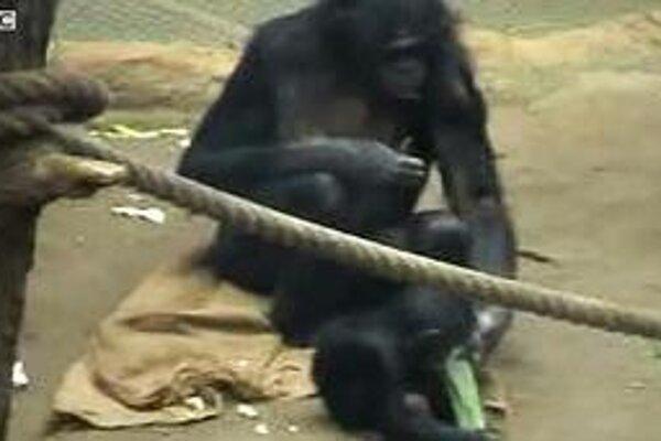 Šimpanzy bonobo krútia hlavou na znak nesúhlasu.