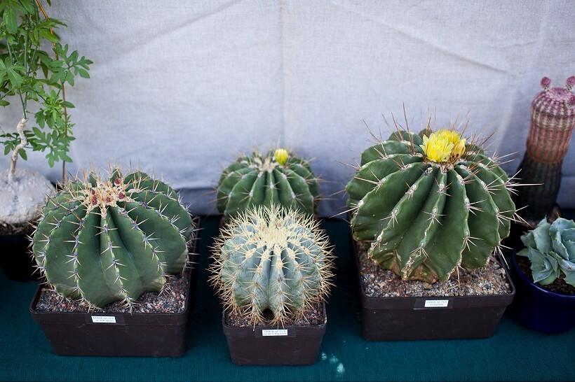 kaktus6-820.jpg