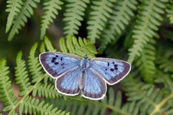 Samica modráčika čiernoškvrnného z oblasti Dartmoorského národného parku v grófstve Devon na juhozápade Anglicka.