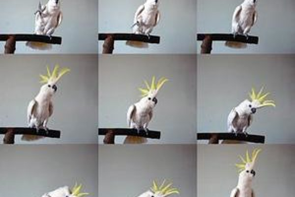 Kakadu Snowball pri tanci.