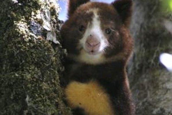 Mladá stromokengura Matschieho (Dendrolagus matschiei) v tropickom dažďovom pralese novovyhláseného veľkoplošného chráneného územia YUS na severovýchode Papuy-Novej Guiney, prvého v krajine, založeného na základe spolupráce medzinárodných ochranárskych a