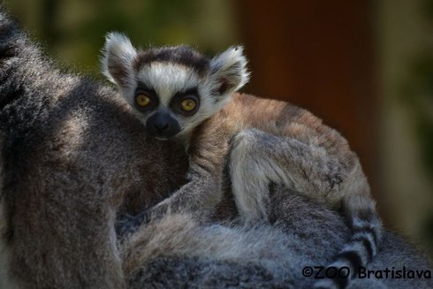 lemurrik_res.jpg