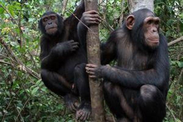 Ľudia a šimpanzy naložili so zdedenými duplikovanými úsekmi DNA rôzne.