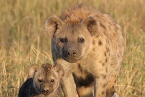 Hyeny škvrnité v kráteri Ngorongoro.