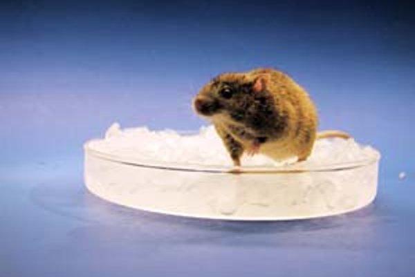 Myši bez génu TRPM8 majú zvýšenú toleranciu proti chladu.