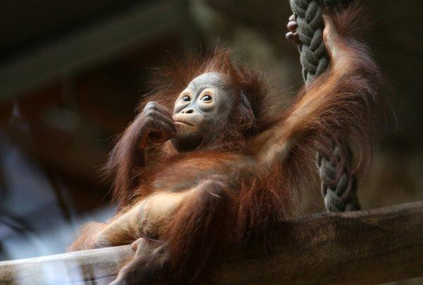 orangutan_res.jpeg